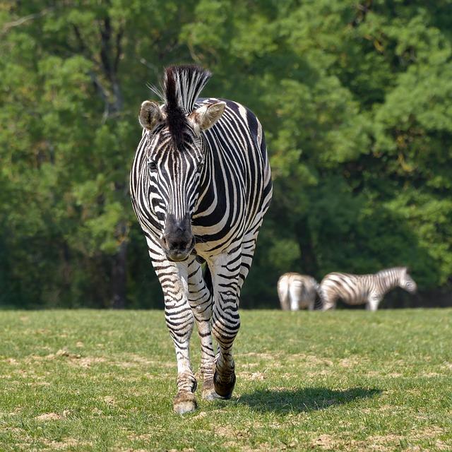 zebra na procházce